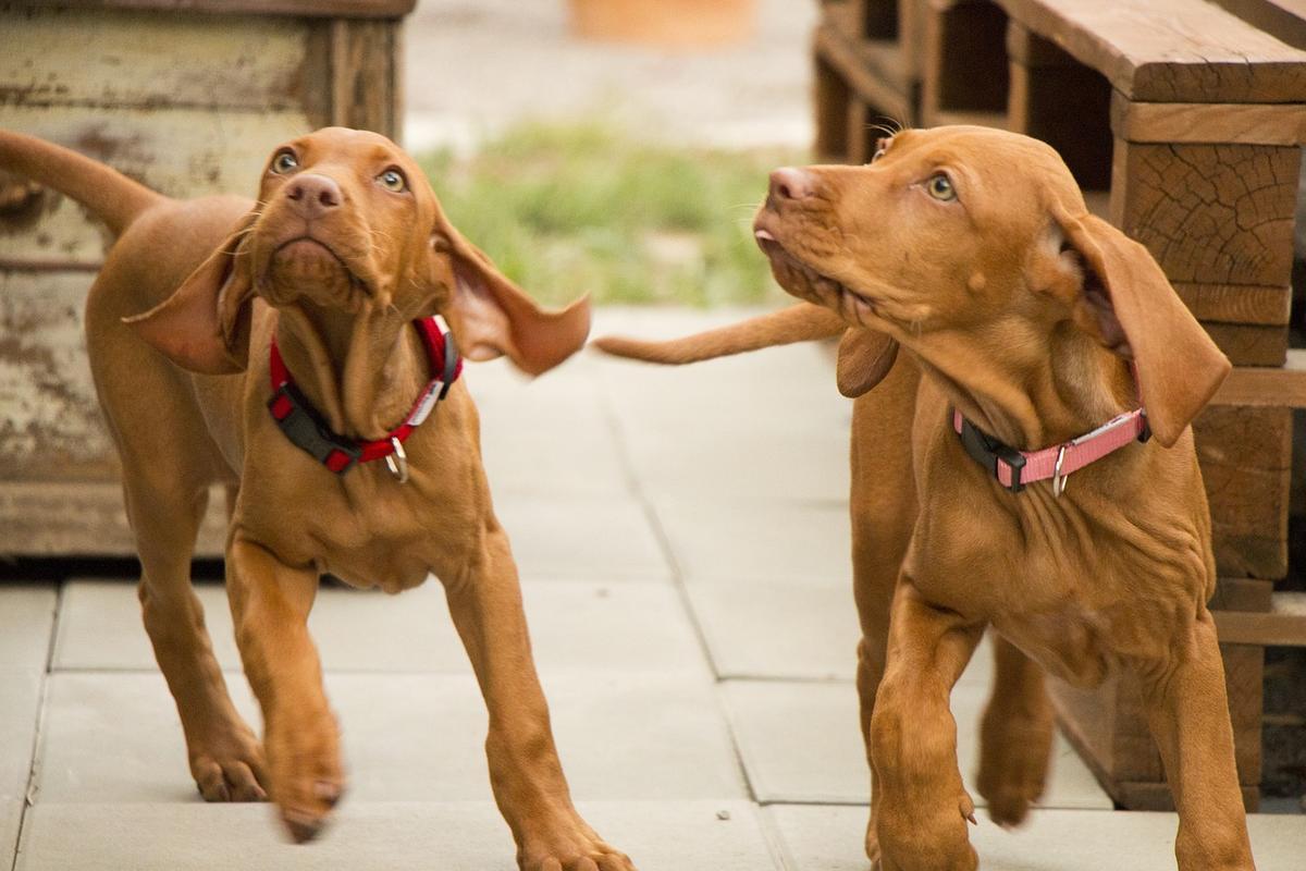 Hunden herpes bei Den Hund